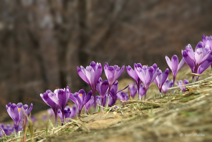 Шафран Гейфеля, Крокус (Crocus heuffelianus Herb.) Carpathian Mountains | Ukraine