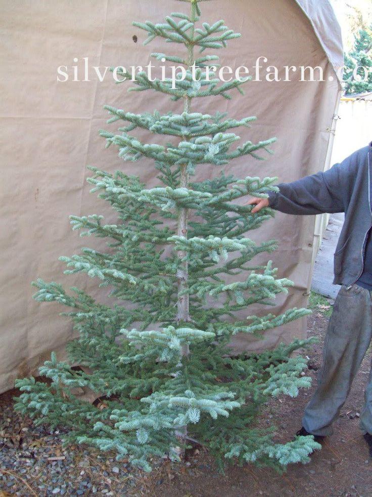 Christmas Trees Fir