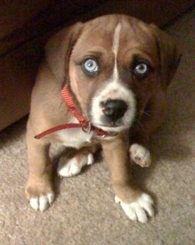 beagle boxer mix is so cute and would probably have a great    Beagle Boxer Mix Full Grown