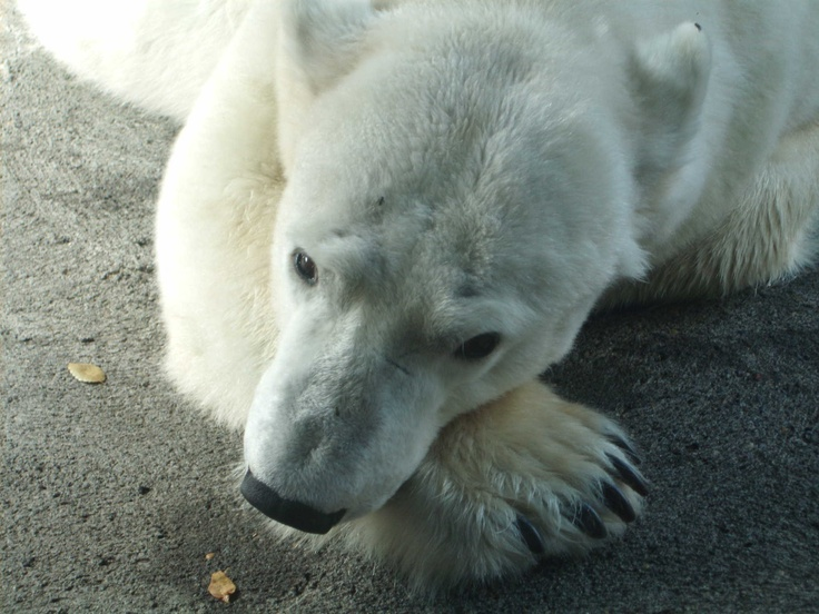 The sad Polar Bear at our zoo..... | Hilarious..ness... | Pinterest
