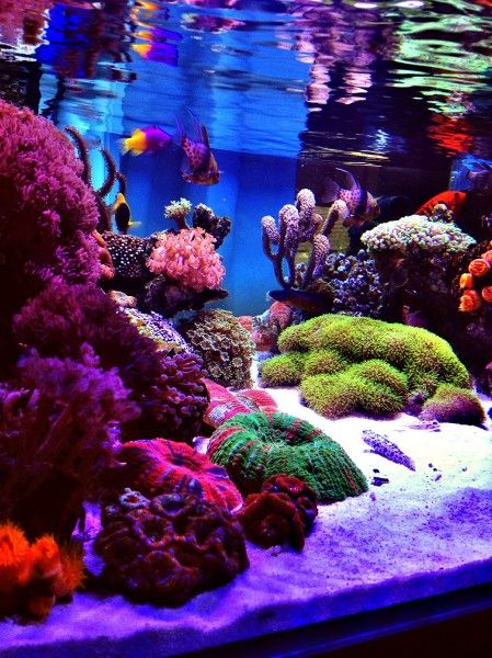 Pin by jamie sherman on reef tank pinterest for Saltwater fish tank