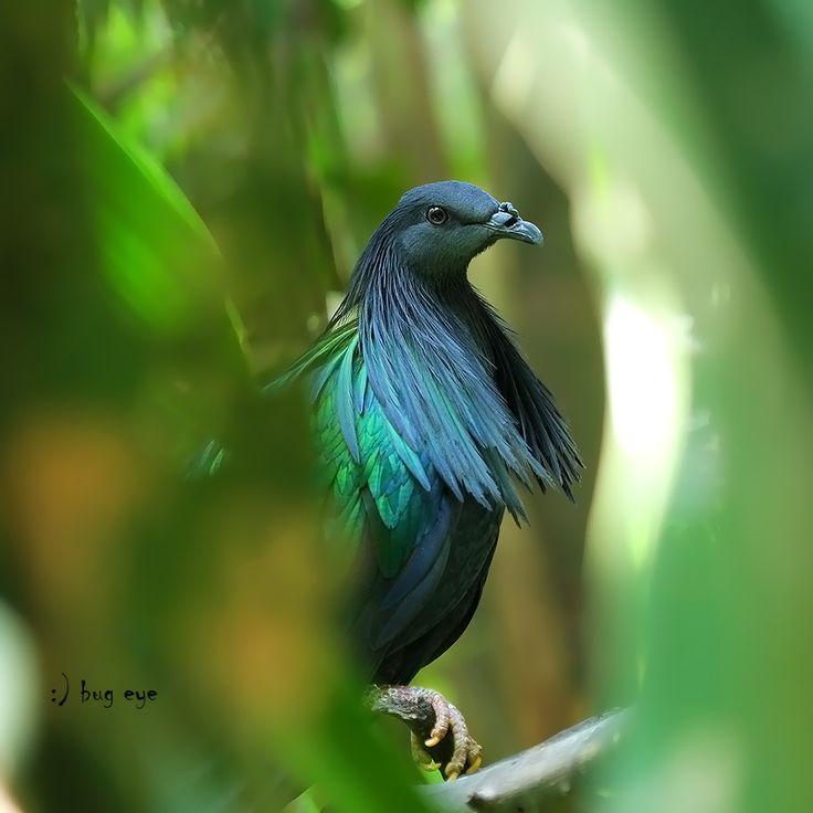 Nicobar pigeon | Birds | Pinterest
