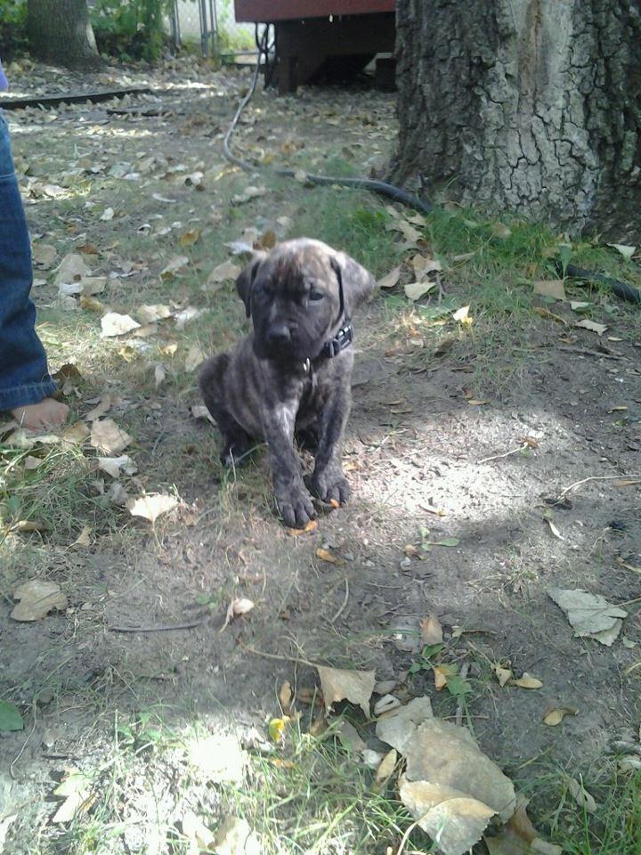 Presa Canario Mastiff at 6 weeks | Favorite Dogs | Pinterest