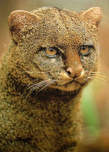 Jaguarundi | A small-sized wild cat native to Central and South America. It is probably extinct in Texas. Its presence in Uruguay is uncertain. It is known for its terrifying scream. | Scary and precious :)