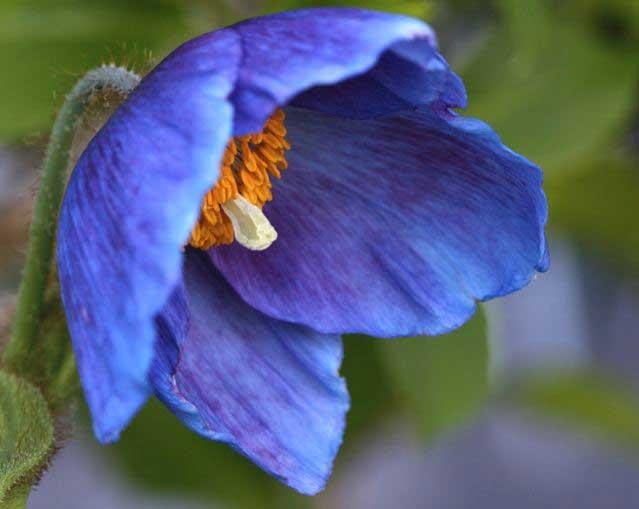 how to grow himalayan blue poppy