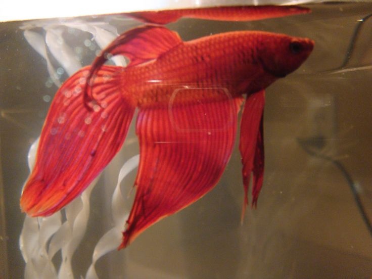 Pin by exotic fish facts on betta fish pinterest for Fish diseases pictures
