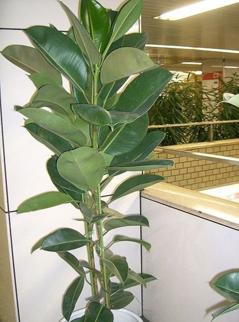 The gallery for rubber plant tree - Tall house plants ...