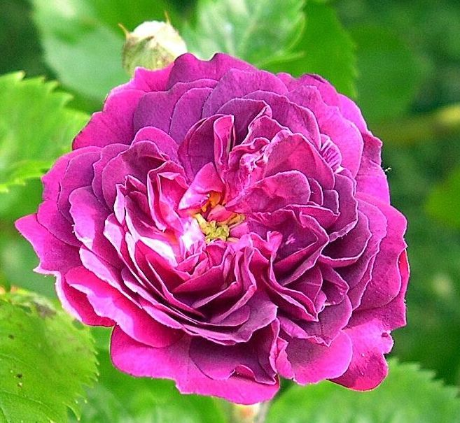 Rose Ancienne : Bleu Magenta
