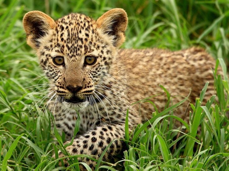 JULY 9, 2010    Leopard Cub, Tanzania  Photograph by Owen Kilgour, Your Shot    This Month in Photo of the Day: Animals    A leopard cub explores the long grass in Serengeti National Park, Tanzania.