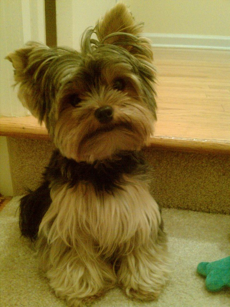 Yorkie Haircuts Pictures Summer Cuts Dog Breeds Picture