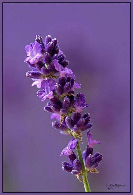 Uploaded to PinterestLavender Flower Close Up