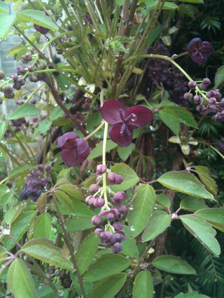Akebia quinata schijnagurk leuke klimplant langs pergola hek takken kronkelen overal omheen - Pergola klimplant ...