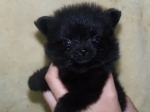 black pomeranian puppies | Cute Puppies | puppies | Pinterest