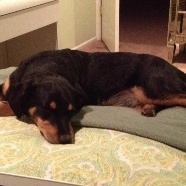 Rottweiler corgi mix! My daughters adorable dog!