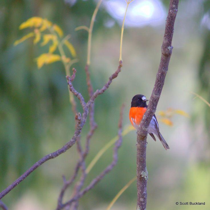 Buckland Australia  City new picture : Pin by Scott Buckland on Australian Birds Lifelist | Pinterest