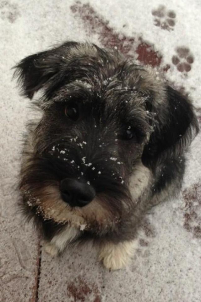 The perfect puppy. Standard Schnauzer   puppy love