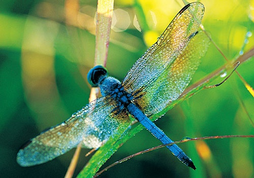 Another pretty dragonfly.   Insecta   Pinterest