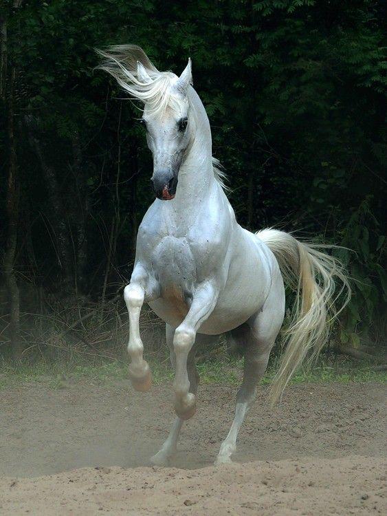 White arabian horse - photo#5
