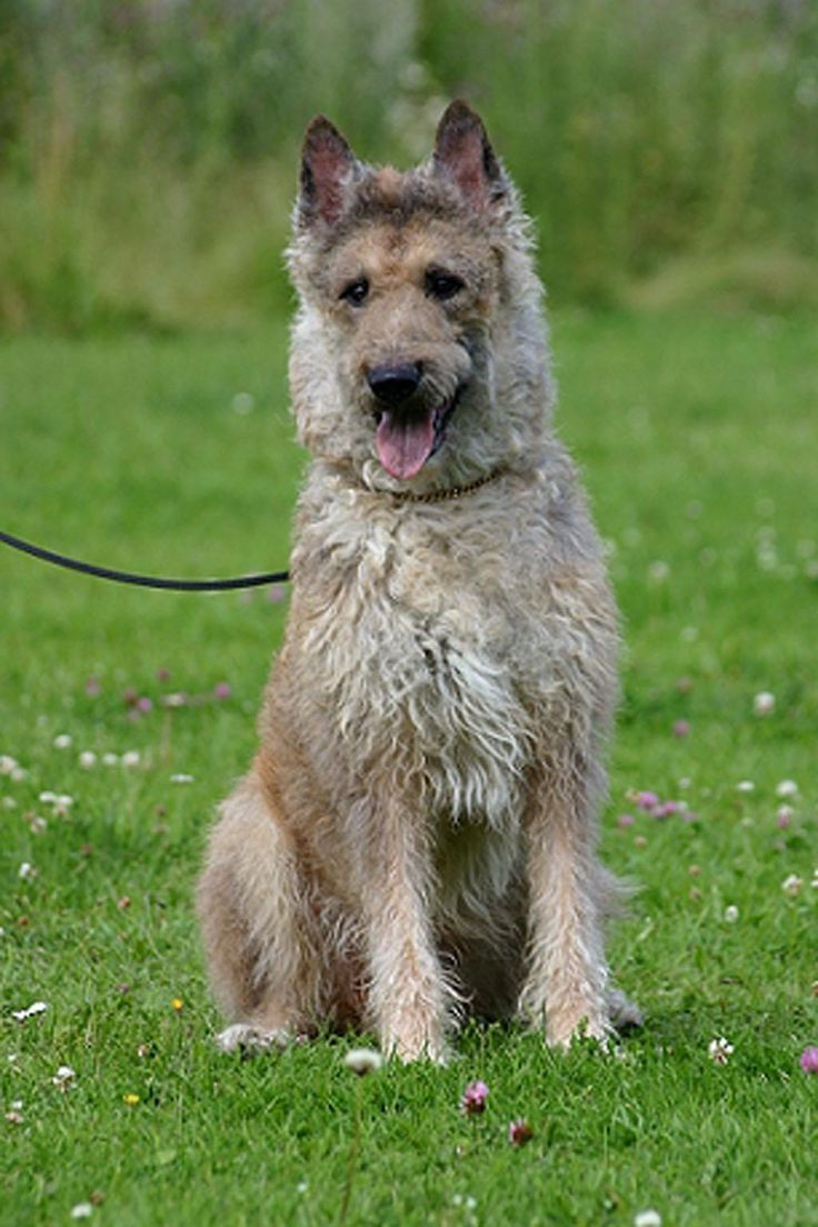 belgian shepherd dog laekenois want pinterest