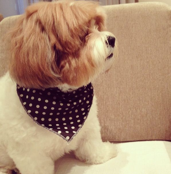 Pin Lhasa Apso Haircuts On Pinterest | newhairstylesformen2014.com