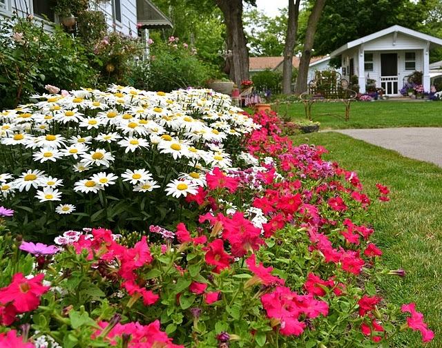 Shasta daisies gardening pinterest