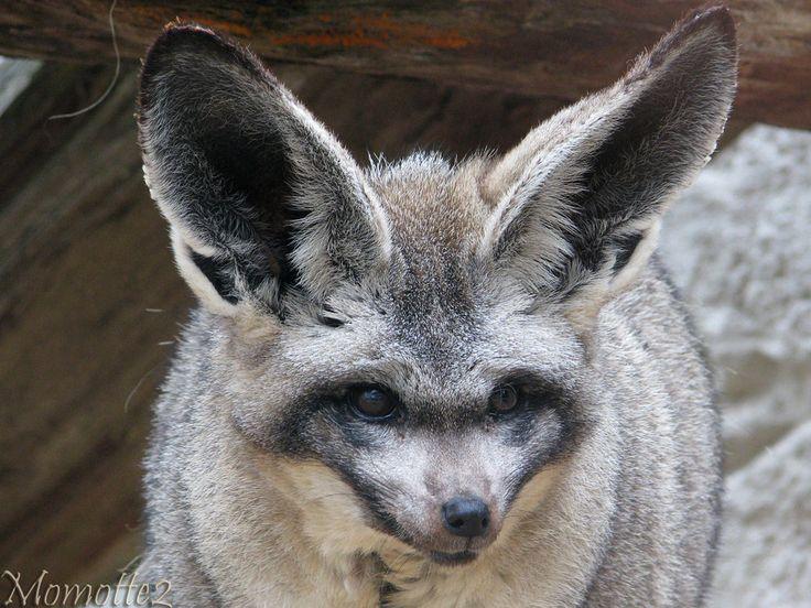 Bat eared fox - photo#18