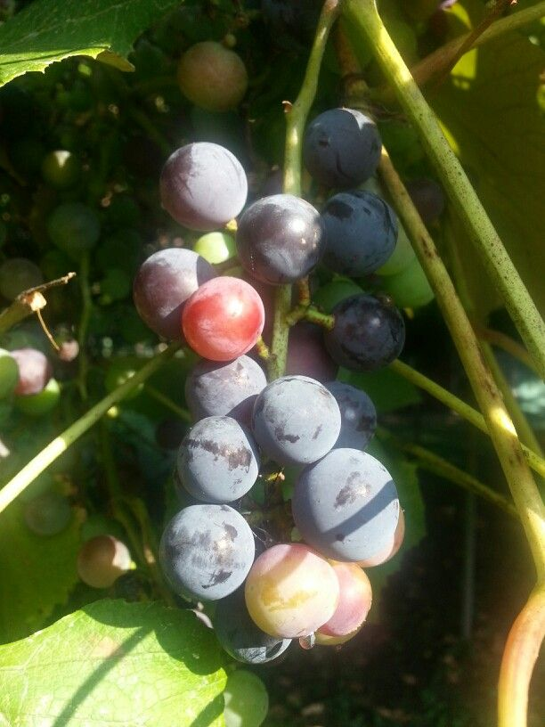 More purple grapes. At first I didn't realize they ripened to this ...