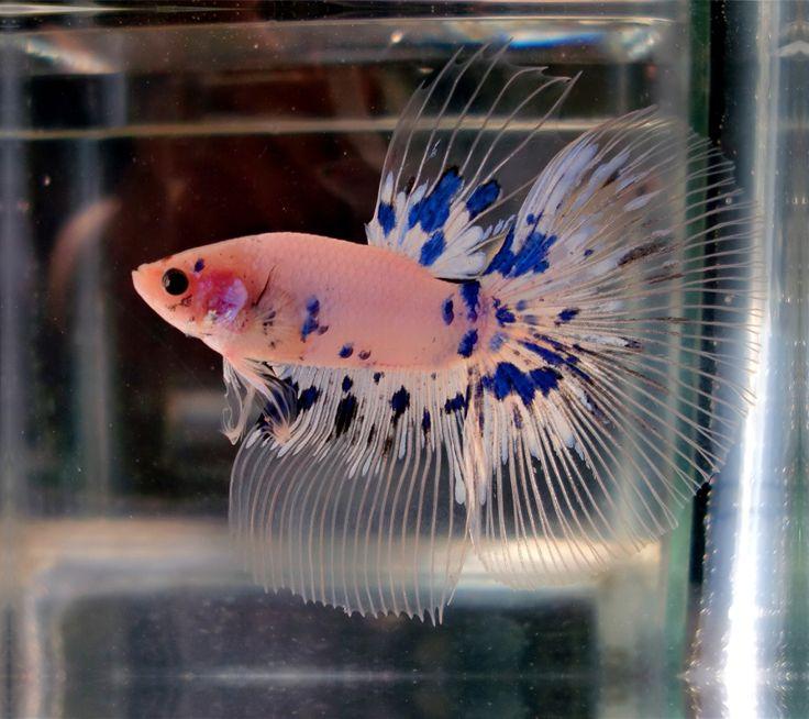 Blue dalmatian halfmoon beautiful betta fish pinterest for Betta fish friends