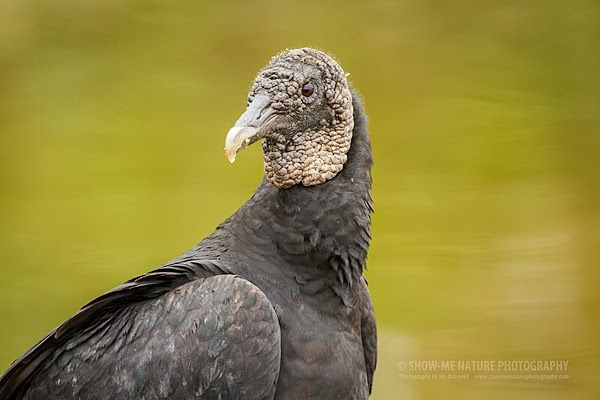 Black vulture animals and their babies pinterest