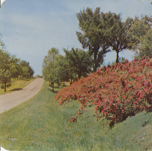 Ten Mile Garden, Highway 61, Between Cape Girardeau and Jackson, Missouri, circa 1950s.  Over 25,000 roses were planted.  Later expansion of the highway system caused the rose garden to disappear.  The previous city motto, City of Roses by the River stemmed from these famous flowers. :: Postcard Collection