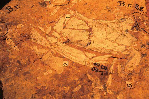 Naracoorte Australia  city pictures gallery : Australian Fossil Mammal Sites Riversleigh / Naracoorte