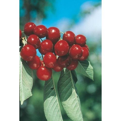 Bing Cherry Tree | Garden berries and fruit trees | Pinterest