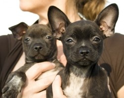 Boston Terrier/Chihuahua Mix. We didn't get the Norfolk Terrier ...