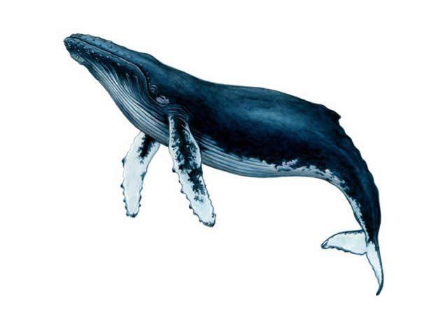 ザトウクジラの画像 p1_17