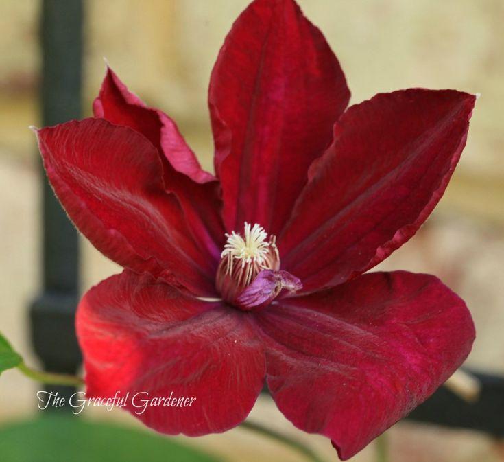 clematis 39 rouge cardinal 39 queen clematis pinterest. Black Bedroom Furniture Sets. Home Design Ideas