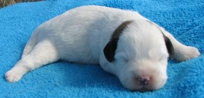 Corgi Poodle Mix Puppies