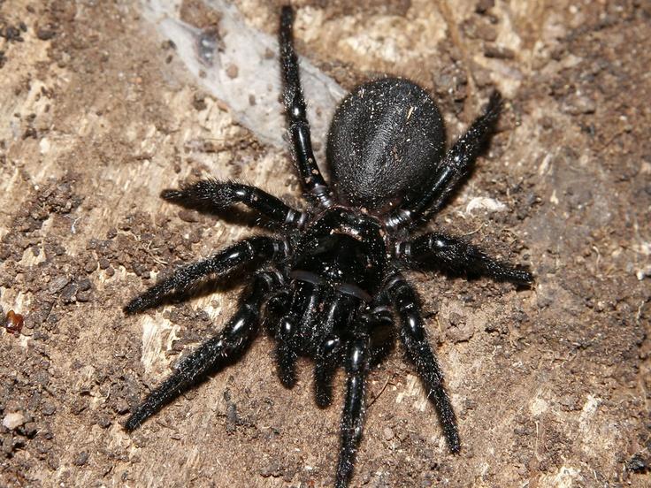 funnel web spider unit six creature pinterest. Black Bedroom Furniture Sets. Home Design Ideas