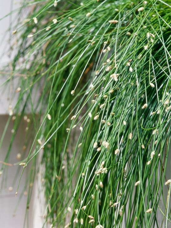 17 top ornamental grasses for Small ornamental grasses