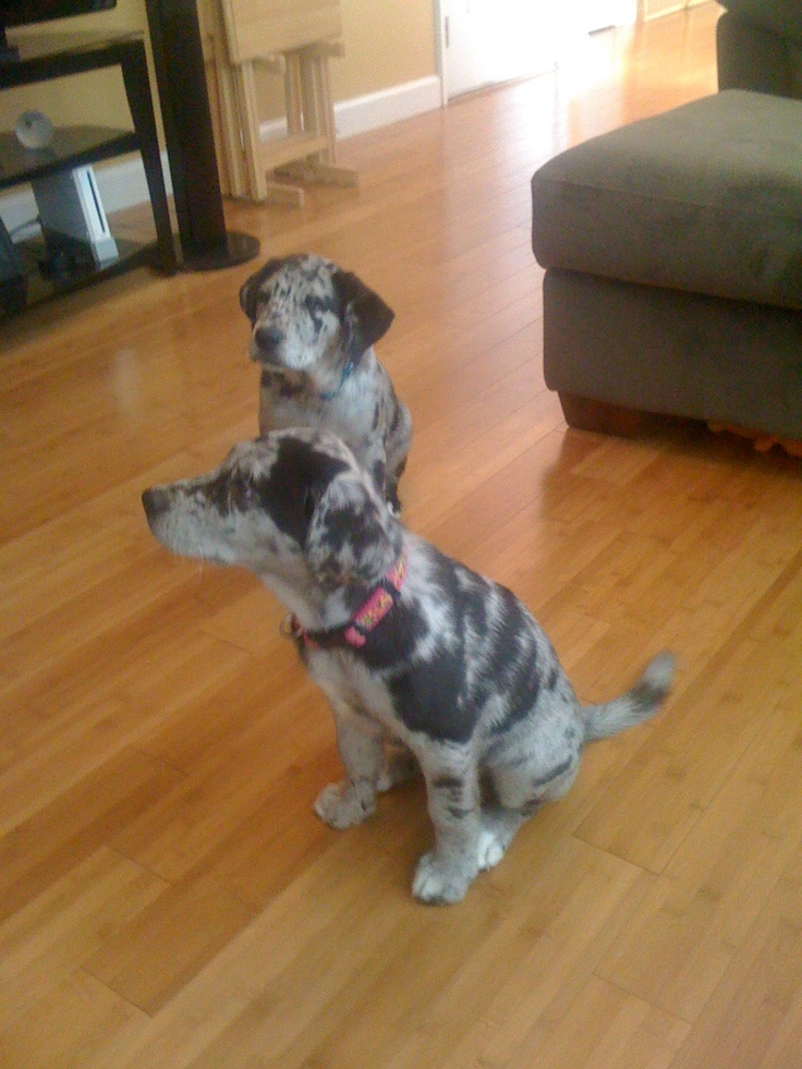 Catahoula Leopard Lab Mix   Dog Breeds Picture