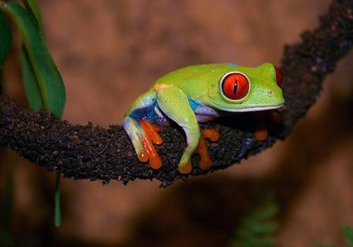 TREE FROGS The semi aquatic pet frog tank needs some thought to ...