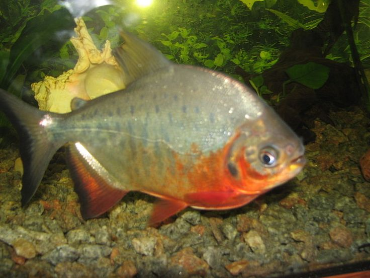 Red bellied pacu Exotic Freshwater Fish Pinterest