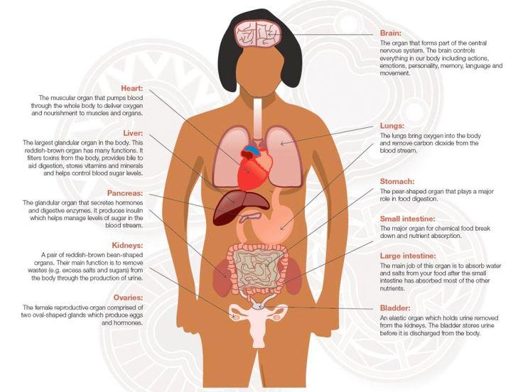 Body organ diagram