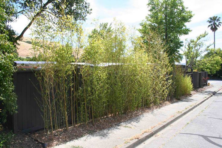 how to plant a bamboo privacy hedge the back yard pinterest