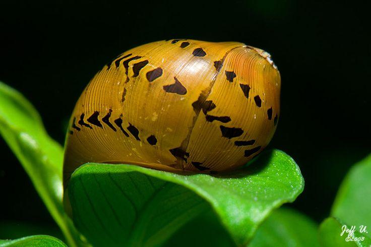 Red spot nerite snails Snails Pinterest