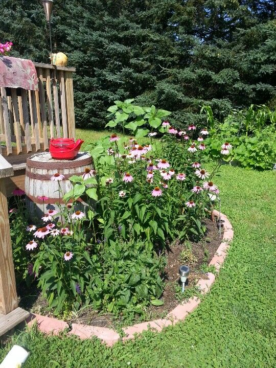 Coneflower garden ideas pinterest