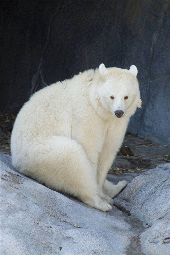 Albino Bear Related Keywords - Albino Bear Long Tail ...