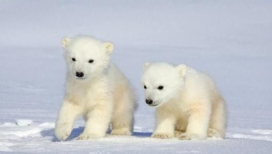 Baby Polar Bears Baby Polar Bears Baby Polar Bears