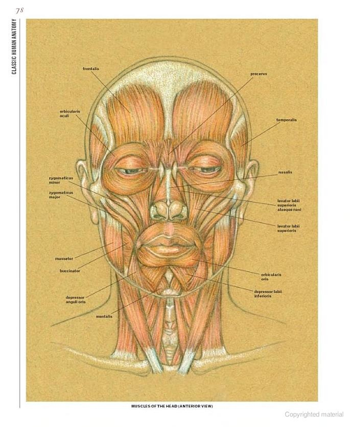 Human Face Anatomy For Artists Digitalspacefo