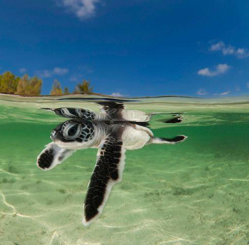baby sea turtle ADORE Pinterest