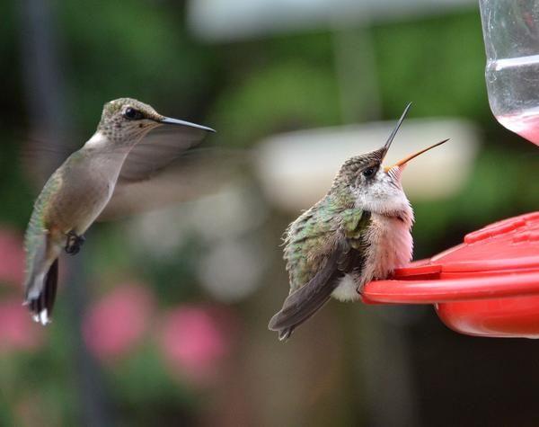 Baby Hummingbird Print by Dorrie Pelzer